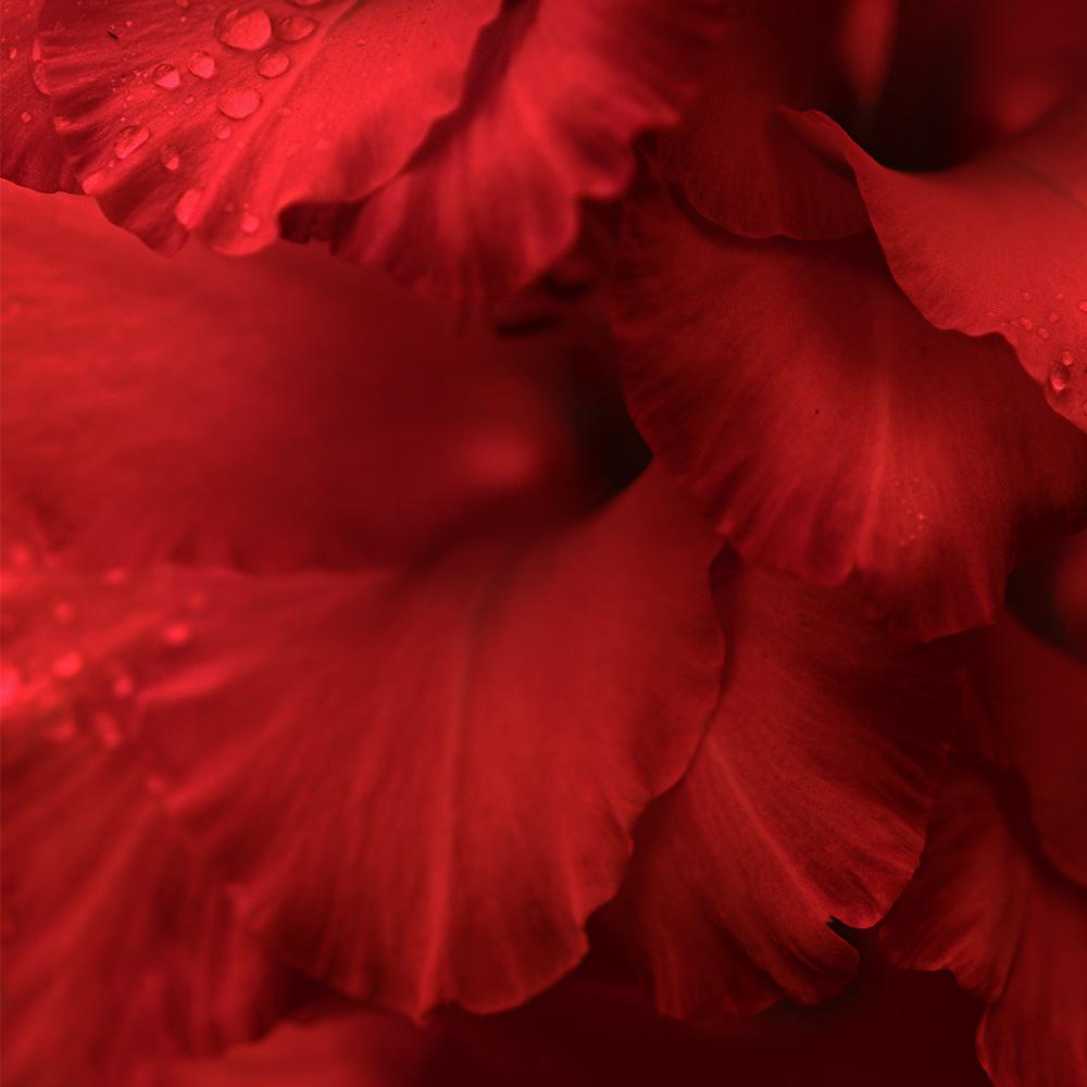 Petali sfondo rosso | Kléral System
